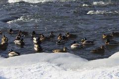 Un troupeau des canards sauvages en rivière d'hiver Photographie stock