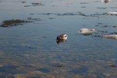 Un troupeau des canards sauvages nageant en rivi?re apr?s l'hiver photos libres de droits
