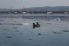 Un troupeau des canards sauvages nageant en rivi?re apr?s l'hiver photo libre de droits