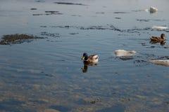Un troupeau des canards sauvages nageant en rivi?re apr?s l'hiver images libres de droits
