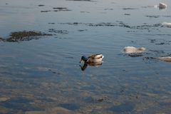Un troupeau des canards sauvages nageant en rivi?re apr?s l'hiver Les canards nagent dans l'eau glac?e d'hiver images libres de droits