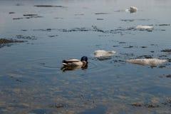 Un troupeau des canards sauvages nageant en rivi?re apr?s l'hiver Les canards nagent dans l'eau glac?e d'hiver photographie stock