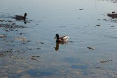 Un troupeau des canards sauvages nageant en rivi?re apr?s l'hiver Les canards nagent dans l'eau glac?e d'hiver photos libres de droits