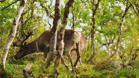 Un troupeau des cerfs communs marche par la forêt banque de vidéos