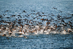 Un troupeau des cormorans effectuant le vol sur l'eau Photographie stock