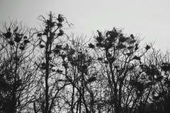Un troupeau des corneilles se reposant sur des branches d'arbre Photos stock