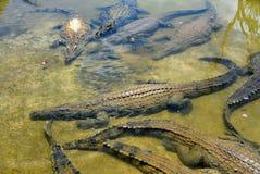 Un troupeau des crocodiles se reposent dans l'eau photo stock