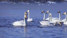 Un troupeau des cygnes nageant dans le lac non gelé clips vidéos