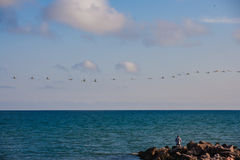 Un troupeau des cygnes sauvages sur la mer Photo libre de droits