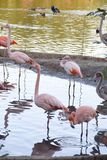 Un troupeau des flamants dans l'étang du zoo de Moscou Photographie stock