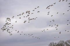 Un troupeau des grues de Sandhill couvrir le ciel ouvert photo libre de droits