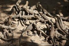 Un troupeau des lézards de moniteur Photographie stock
