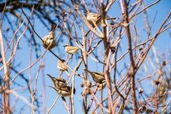 un troupeau des moineaux se repose sur le buisson nu Photos stock