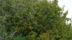 Un troupeau des moucherons vole autour de l'arbre banque de vidéos