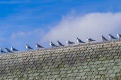 Un troupeau des mouettes se reposant sur un dessus de toit de haouse image stock