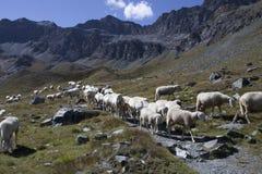 Un troupeau des moutons Images libres de droits