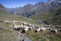 Un troupeau des moutons Images stock
