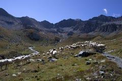 Un troupeau des moutons Photos stock