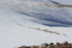 Un troupeau des moutons (argali Marco Polo) émigre dans Tien Shan photographie stock libre de droits