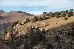 Un troupeau des moutons blancs frôle sur une pente de montagne tibétaine Image libre de droits