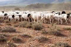 Un troupeau des moutons de Dormer marchant sur la route de gravier Images libres de droits