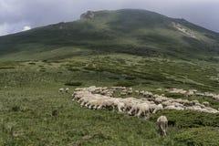 Un troupeau des moutons en montagnes Photographie stock
