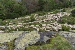 Un troupeau des moutons en montagnes Photo stock