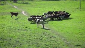 Un troupeau des moutons et des veaux frôlant dans les pâturages clips vidéos