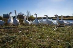 Un troupeau des oies images libres de droits