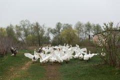 Un troupeau des oies blanches courues ? travers le village, criant et agitant leurs ailes image libre de droits