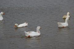 Un troupeau des oies blanches se baignant en rivière et marchant le long du rivage Photo stock