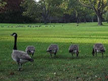 Un troupeau des oies sauvages canadiennes mangeant l'herbe Photographie stock