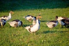 Un troupeau des oies sur le pré vert Photographie stock libre de droits
