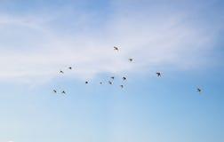 Un troupeau des perroquets volent Photographie stock libre de droits