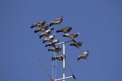 Un troupeau des pigeons était perché sur une antenne de TV Image stock