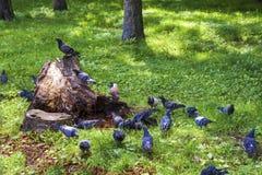 Un troupeau des pigeons au vieux tronçon photo stock