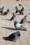 Un troupeau des pigeons dans la place de la ville de Mozhaysk RU Image libre de droits