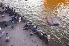 Un troupeau des pigeons en été garent les graines en marche franc de morsure d'amusement photos stock