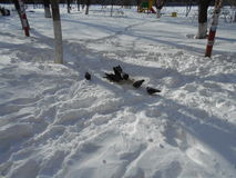 Un troupeau des pigeons mange la neige Photos stock
