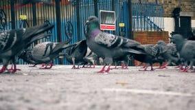 Un troupeau des pigeons sur la route clips vidéos