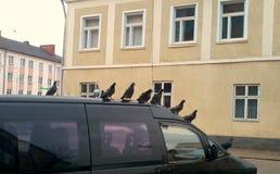 Un troupeau des pigeons sur la voiture Image libre de droits