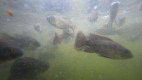 Un troupeau des poissons dans les eaux préoccupées banque de vidéos