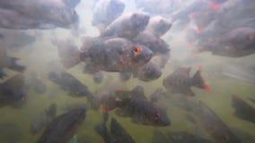 Un troupeau des poissons dans les eaux préoccupées clips vidéos
