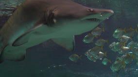 Un troupeau des poissons tropicaux blancs flottant dans un aquarium Un requin apparaît clips vidéos