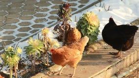 Un troupeau des poules criant un lit de fleur décoratif dans le jardin banque de vidéos