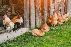 Un troupeau des poulets et d'un coq dans une grange dans le village Photographie stock libre de droits