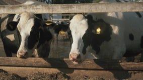 Un troupeau des vaches domestiques mangeant le foin à la ferme clips vidéos