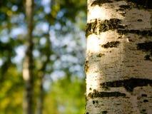 Un trunc hermoso del árbol de abedul en el bosque Imagen de archivo