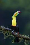 Un tucano Chiglia-fatturato si è appollaiato sul ramo in Costa Rica Fotografia Stock Libera da Diritti