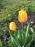 Un tulipán amarillo Imagen de archivo libre de regalías